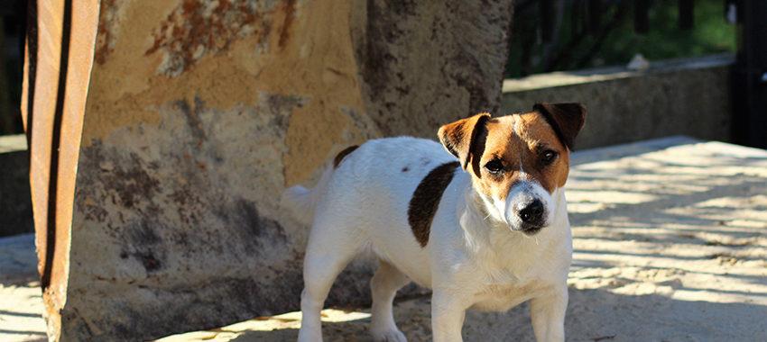 Tylko Ty i Twój Pies Hodowla Jack Russell Terrier