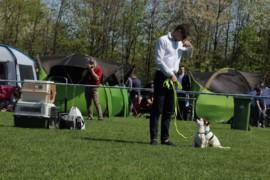 Krajowa Wystawa Psów Rasowych - Jasło 2018 - Jack Russell Terrier (10)