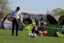 Krajowa Wystawa Psów Rasowych - Jasło 2018 - Jack Russell Terrier (15)