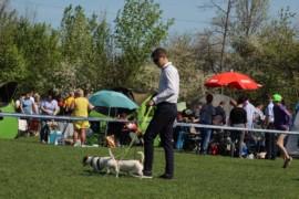 Krajowa Wystawa Psów Rasowych - Jasło 2018 - Jack Russell Terrier (18)