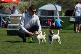 Krajowa Wystawa Psów Rasowych - Jasło 2018 - Jack Russell Terrier (22)