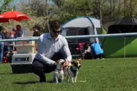 Krajowa Wystawa Psów Rasowych - Jasło 2018 - Jack Russell Terrier (23)