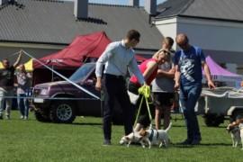 Krajowa Wystawa Psów Rasowych - Jasło 2018 - Jack Russell Terrier (29)