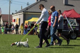 Krajowa Wystawa Psów Rasowych - Jasło 2018 - Jack Russell Terrier (30)