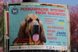 Krajowa Wystawa Psów Rasowych - Jasło 2018 - Jack Russell Terrier (40)