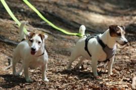 Jacks4You Majówka, Jack Russell Terrier (41)
