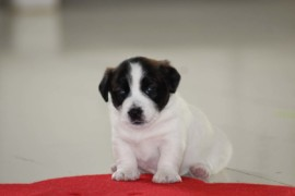 Jack Russell Terrier, miot C - 5 (1)