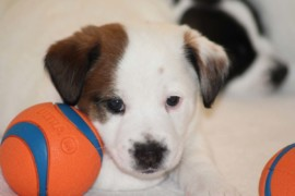 Jack Russell Terrier, miot C - 5 (11)