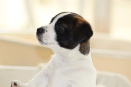 Jack Russell Terrier, miot C - 5 (14)