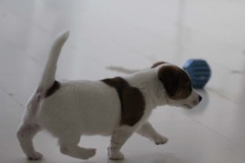 Jack Russell Terrier, miot C - 5 (15)