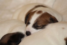 Jack Russell Terrier, miot C - 5 (2)