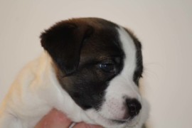Jack Russell Terrier, miot C - 5 (9)