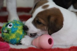 Jack Russell Terrier - Miot C - 6 (12)