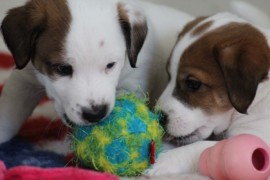 Jack Russell Terrier - Miot C - 6 (13)