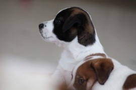 Jack Russell Terrier - Miot C - 6 (14)