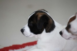 Jack Russell Terrier - Miot C - 6 (15)