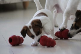 Jack Russell Terrier - Miot C - 6 (17)