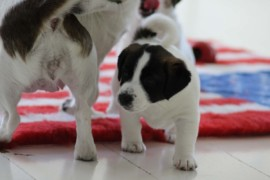 Jack Russell Terrier - Miot C - 6 (19)