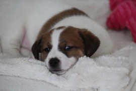 Jack Russell Terrier - Miot C - 6 (2)