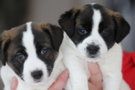 Jack Russell Terrier - Miot C - 6 (3)
