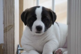 Jack Russell Terrier - Miot C - 6 (5)