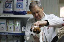 Jack Russell Terrier chipowanie Miotu  C (3)